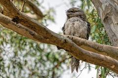 Tawny Frogmouth 2014-01-24 (_MG_3299) (ajhaysom) Tags: australia melbourne australianbirds tawnyfrogmouth podargusstrigoides greenvale woodlandshistoricpark