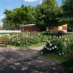Peonies in Gardenia