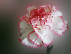 carnation (HocusFocusClick) Tags: pink white flower carnation fantasticnature