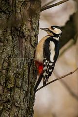 Dendrocopos major (VeNature) Tags: nature birds fauna major woodpecker wildlife great uccelli spotted maggiore rosso picchi picchio dendrocopos picidae picidi {vision}:{outdoor}=0782