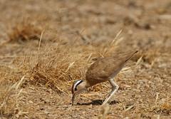 Somali Courser (Rainbirder) Tags: kenya samburu cursoriussomalensis somalicourser rainbirder