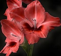 Gladiolus L'Eclantante