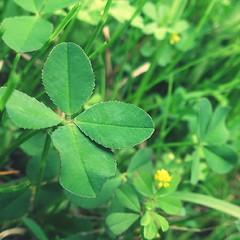 四つ葉のクローバー 画像50