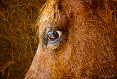 The eye (Zoo Much Information) Tags: horse eye cheval oeil