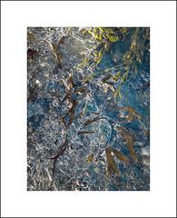 Delicate ice I (Christa (ch-cnb)) Tags: camera sea seaweed ice norway norge rocks phone stones north samsung trondheim srtrndelag lade korsvika trndelag trondheimfjord
