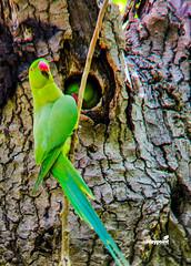 Psittacula krameri (Zemarks) Tags: birds wildlife birding birdsinportugal avesemportugal birdwatching avifauna psittaculakrameri periquitodecolar