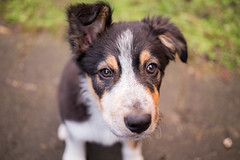 Goofball 5/52 (Bas Bloemsaat) Tags: dog puppy sheepdog bordercollie 52weeksfordogs