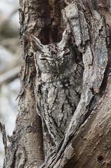 Eastern Screech-Owl (missltg) Tags: sleeping bird yellow night eyes texas forrest birding gray feathers camo owl roosting morph roost plumage asio megascops