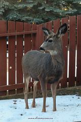 White Tail Deer (ECF Calgary) Tags: snow canada calgary backyard deer fawn alberta bambi visitors whitetaildeer dreamviews