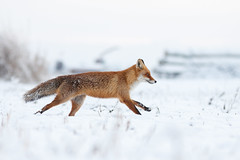 Runaway (Kristóf Diós) Tags: winter red snow nature animal hungary wildlife run fox állat természet carnivore redfox hó tél vulpes vörös róka emlős
