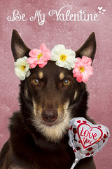 Be My Valentine (aussiegall) Tags: flowers hearts ally balloon australia canine valentinesday kelpie dogcanine