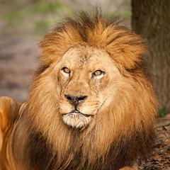 JaxZoo_1-30-15-4900 (RobBixbyPhotography) Tags: lion lions lioness jacksonvillezooanimals