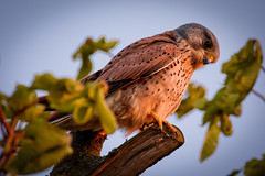 Kestrel At Sunset (bbir280) Tags: sunset red bird nikon glow sigma kestrel d7100 150600mm