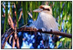 Relaxed (juliewilliams11) Tags: bird nature outdoor border feathers naturallight australia kookaburra photoborder