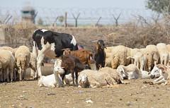 Random Farm Animals (Boushh_TFA) Tags: animals cow airport nikon sheep random farm goat 300mm morocco marrakesh nikkor rak f28 menara d600 vrii gmmx
