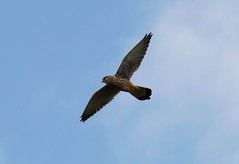 WHH-15 (liamworrall) Tags: england horse white bird flying hill flight oxfordshire sparrowhawk