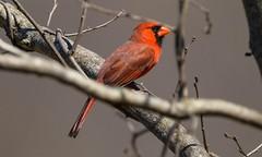7K8A4395 (rpealit) Tags: bird nature scenery cardinal wildlife sp valley northern kittatinny