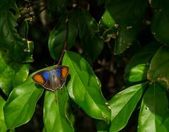 everyone needs sunshine (dotun55) Tags: morning sunlight tree nature leaves lepidoptera nigeria colourful basking nymphalidae blackandorange labalaba colourfulbutterfly myrinasilenus commonfigtreeblue colourfulbutterflywithlongtails