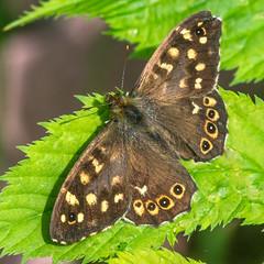 Pararge aegeria (Le tircis)01 (daumy) Tags: orange france jardin vert papillon tache marron antenne brun insecte feuille aile bierne nikonflickraward nordpasdecalaispicardie
