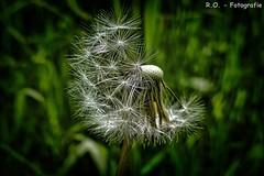 Pusteblume / Dandelion (R.O. - Fotografie) Tags: macro green nature up closeup lumix weed close outdoor natur meadow wiese dandelion panasonic gras grn makro fz hdr 1000 dmc lwenzahn pusteblume fz1000 dmcfz1000