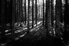 Forest Light (bjorbrei) Tags: forest trees trunks backlight spruces contrast marka oslo norway