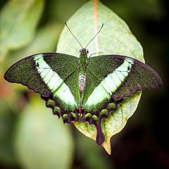 P5210695.jpg (DWO630) Tags: butterfly garden insect virginia butterflies olympus richmond va rva compactcamera lewisginter m43 primelens lewisginterbotanicalgarden lgbg seriouscompacts micro43 butterflieslive olympus45mm18 em10ii