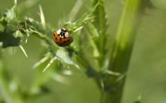 lady bug (t5909sw) Tags: flowers ladybug morningdew grandrapidsmichigan t5909sw
