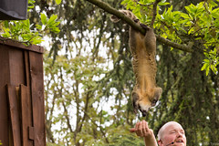 Coati showing his skills (btysoe) Tags: koti coati zsllondonzoo