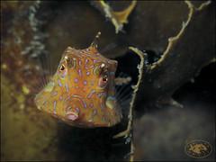 Thornyback Cowfish (Lactoria fornasini) (Brian Mayes) Tags: canon underwater australia scuba diving pipeline nelsonbay cowfish g16 1717 lactoriafornasini brianmayes thornybackcowfish canong16