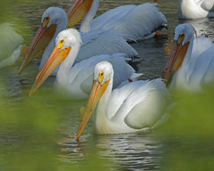 American White Pelicans (Keith Carlson) Tags: pelicans americanwhitepelican pelecanuserythrorhynchos
