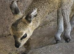 Curious (Penny Hyde) Tags: sandiegozoo klipspringer babyanimal