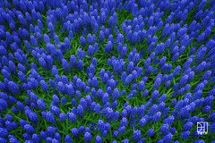 Grape Hyacinth Flower (Del.Higgins) Tags: flower macro green closeup focus purple olympus grape stacked hyacinth omd em1