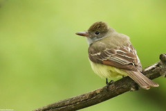 Great Crested Flycatcher - May-14-2016 (12-2) (JPatR) Tags: bird nature illinois spring wildlife may flycatcher 2016 greatcrestedflycatcher 500mmf4 burnidge burnidgeforestpreserve canon7dmarkii