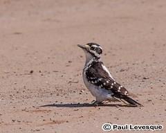 16A_0494 AE Downy Woodpecker - Pic mineur (Paul Lev) Tags: canada quebec gatineau birds downywoodpeckerpicmineur