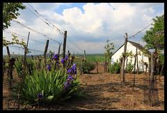 Vineyard in Spring - Weingarten im Frhling (hubert.sigl1) Tags: iris vineyard spring wolken frhling lilien weinstock weingarten ebene heiter