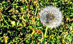 Pide un deseo y sopla... (Valentina Snchez) Tags: blow dandelion wish