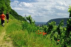 20160526-141744 (lichtschattenjaeger) Tags: rheinlandpfalz rhein leutesdorf hammerstein rheinsteig wein weinstock weinanbau schtzenweg