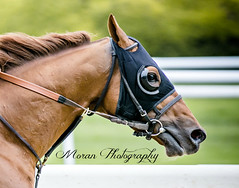 Governor Malibu, Clement Trainee (EASY GOER) Tags: horse sports canon track belmont racing 5d races thoroughbred equine markiii