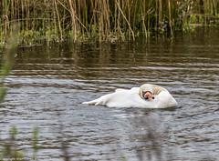 9Q6A0963 (2) (Alinbidford) Tags: swan muteswan greylaggoose whitethroat brandonmarsh alancurtis alinbidford