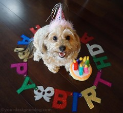 A Birthday Wordless Wednesday (yourdesignerdog) Tags: birthday party dog cute dogs hat smiling sign cake tongue wednesday out happy blog all designer wordpress posts wordless barkday ifttt