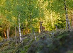 I'm watching you! (Alan Cruickshank.) Tags: nature outdoors scotland highlands stag wildlife deer nikon70200f28 sikkadeer nikond750