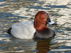 Pochard (Peanut1371) Tags: red brown black water grey duck pochard nationalgeographicwildlife