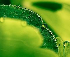 ...in between feels safe... (dawn.tranter) Tags: light macro green nature leaves rain drops bokeh dew environment safe inbetween feelssafe dawntranter