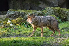 Golden jackal 2016-04-14-0485 (bzd1) Tags: animals dogs goudjakhals roofdieren jakhals animal mammal carnivore canidae canis burgerszoo goldenjackal canisaureus nature