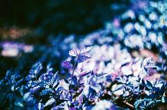 (Mr.Sai) Tags: portrait film girl analog silver lomo purple minolta taiwan taipei f2 58mm  xr 44 helios x700 100400 m39    lomochrome