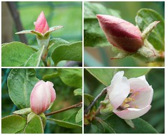 Quartet of Quince (SAMARA:) Tags: flowers tree fruit garden scotland may buds quince rosaceae cydoniaoblonga