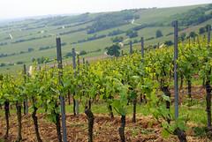 Oppenheim, Weinberg (vineyard) (HEN-Magonza) Tags: germany deutschland vineyard weinberg rheinlandpfalz oppenheim rhinelandpalatinate