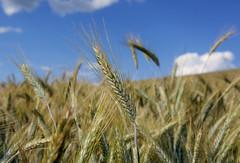 Getreidefeld im Mhlviertel (rubrafoto) Tags: outdoor sommer landwirtschaft wolken landschaft wetter stimmung getreide mhlviertel ottensheim wolkenstimmung getreidefeld ooe witterung wolkenhimmel wetterbild sommerlandschaft