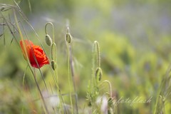 Mohnwiese (Frau Holle2011) Tags: wild rot bayern deutschland natur wiese grn landschaft frhling einsam mohn klatschmohn mohnblume allein einzeln