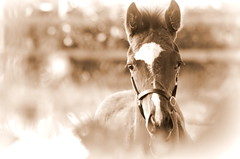 born to run (mulligan.janice) Tags: foal horse head colt grazing pastures